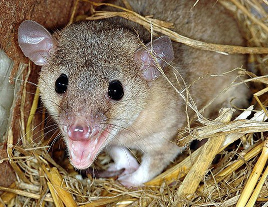 Picture of a grey short-tailed opossum (Monodelphis domestica)