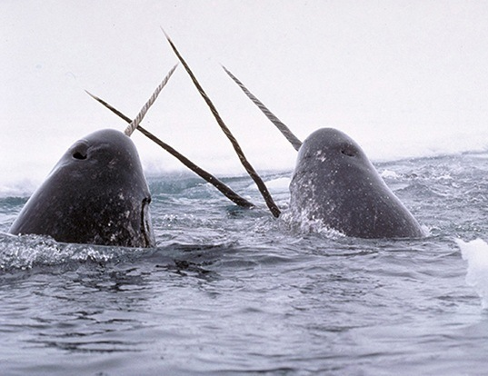 Picture of a narwhal (Monodon monoceros)