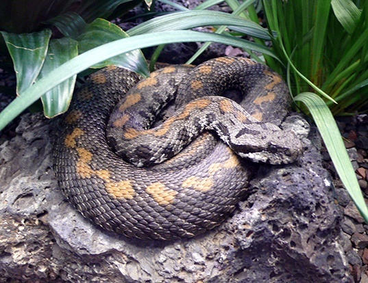 Picture of a armenian viper (Montivipera raddei)
