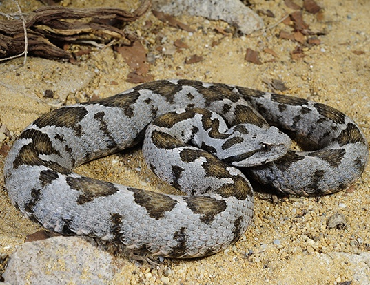 Picture of a palestine viper (Montivipera xanthina)