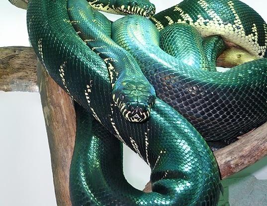 Picture of a boelen's python (Morelia boeleni)