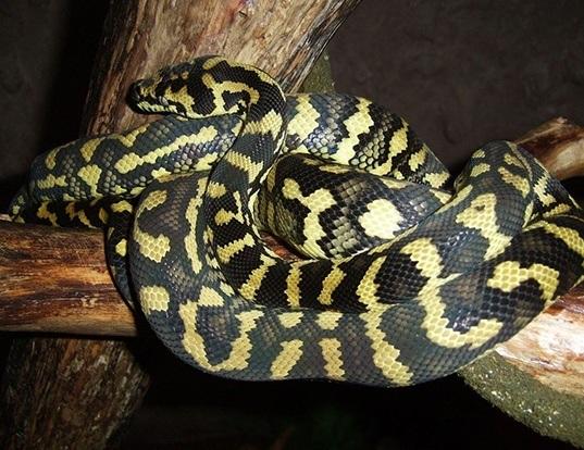 Picture of a carpet python (Morelia spilota)