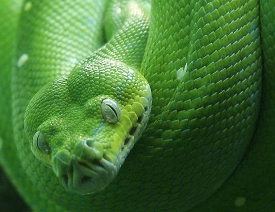 Picture of a green python (Morelia viridis)