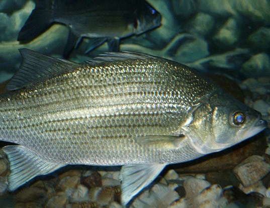 Picture of a white bass (Morone chrysops)