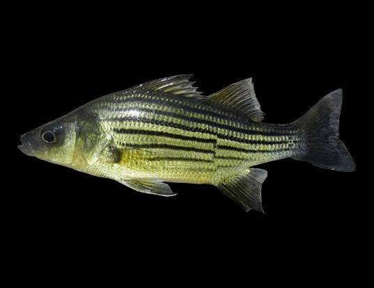 Picture of a yellow bass (Morone mississippiensis)