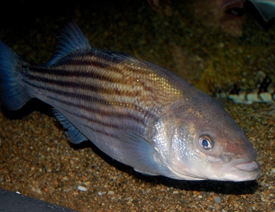 Picture of a striped bass (Morone saxatilis)