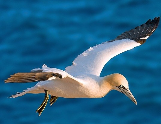 Picture of a northern gannet (Morus bassanus)