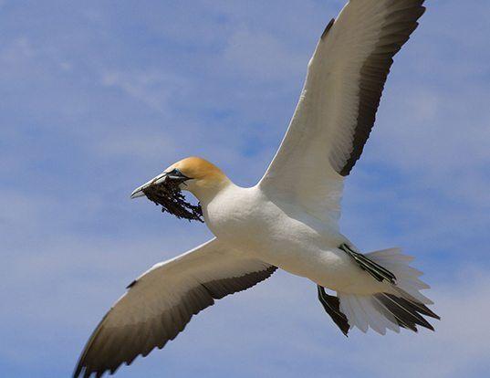 Picture of a australian gannet (Morus serrator)