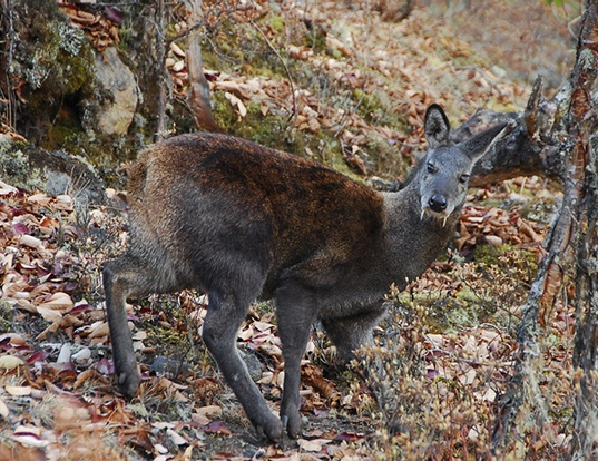 Picture of a himalayan muskdeer (Moschus leucogaster)