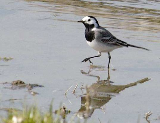 Picture of a white wagtail (Motacilla alba)