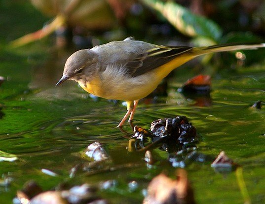 Picture of a gray wagtail (Motacilla cinerea)