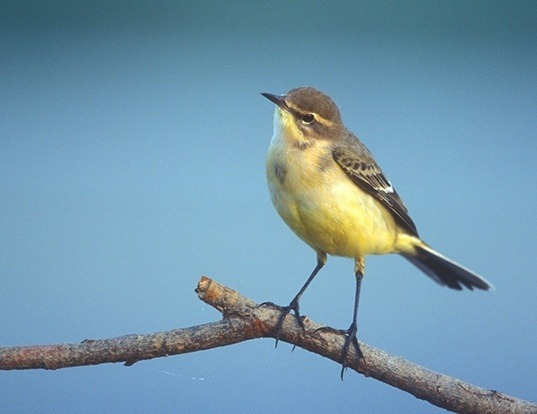 Picture of a yellow wagtail (Motacilla flava)