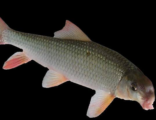 Black Redhorse Fish