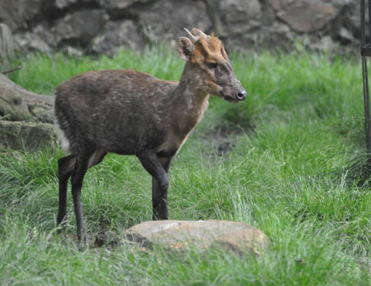 Picture of a gongshan muntjac (Muntiacus gongshanensis)