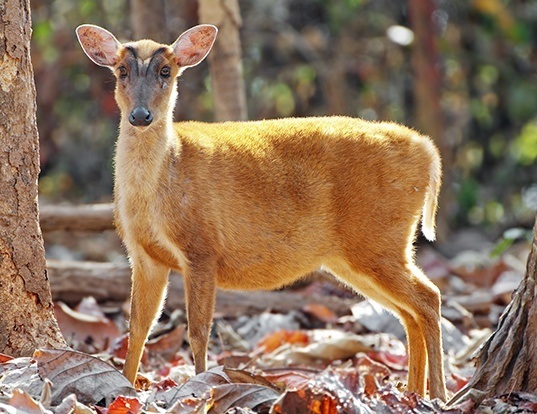 Picture of a southern red muntjac (Muntiacus muntjak)