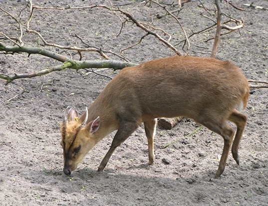 Picture of a reeves's muntjac (Muntiacus reevesi)