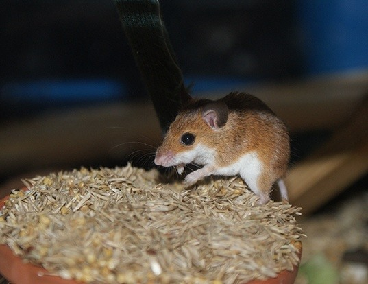 Picture of a pygmy mouse (Mus minutoides)