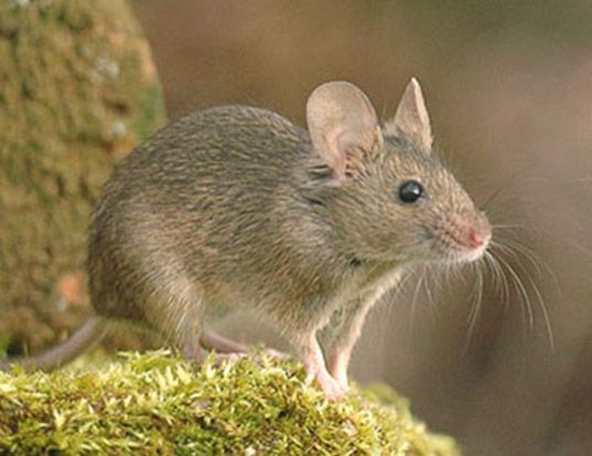 Picture of a house mouse (Mus musculus)