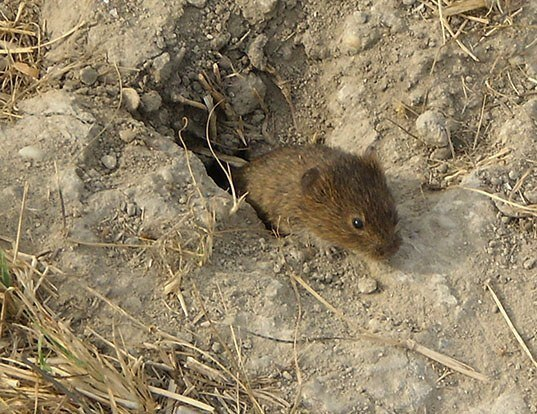 Picture of a mound-building mouse (Mus spicilegus)