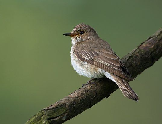 Picture of a spotted flycatcher (Muscicapa striata)