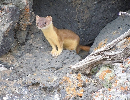 Picture of a long-tailed weasel (Mustela frenata)