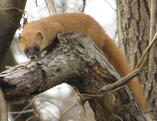Picture of a japanese weasel (Mustela itatsi)