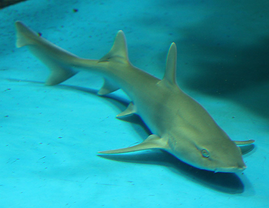 Picture of a spotless smooth-hound (Mustelus griseus)