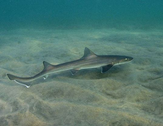 Picture of a brown smooth-hound (Mustelus henlei)