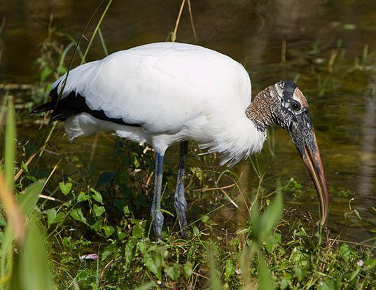 Picture of a wood stork (Mycteria americana)
