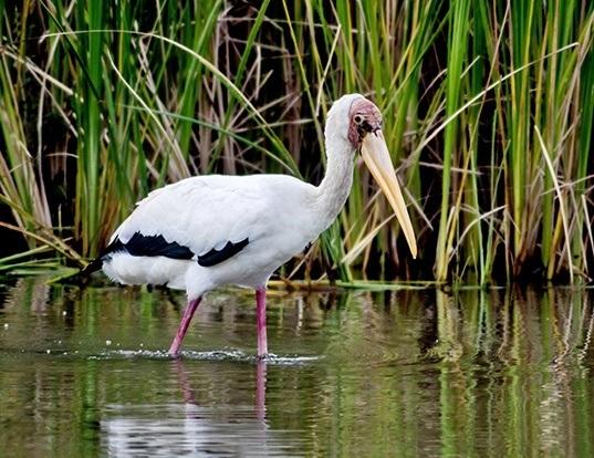 Picture of a milky stork (Mycteria cinerea)
