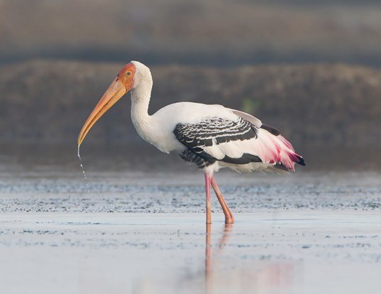 Picture of a painted stork (Mycteria leucocephala)
