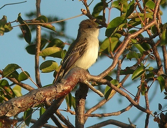 Picture of a puerto rican flycatcher (Myiarchus antillarum)