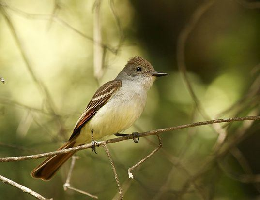 Picture of a ash-throated flycatcher (Myiarchus cinerascens)