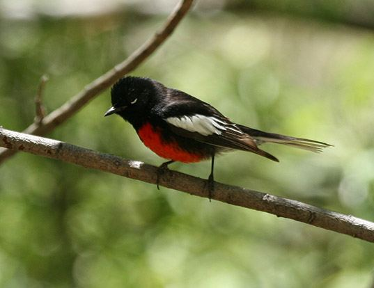 Picture of a painted redstart (Myioborus pictus)
