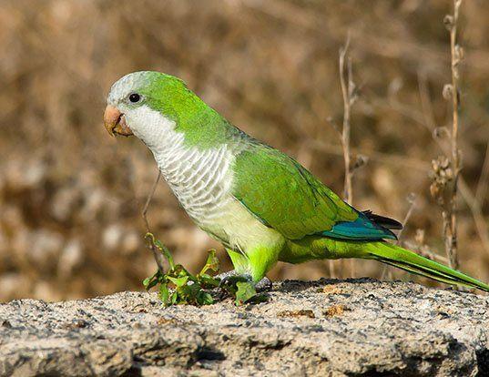 Picture of a monk parakeet (Myiopsitta monachus)