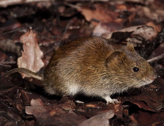 Picture of a bank vole (Myodes glareolus)