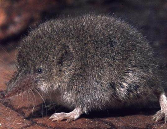 Picture of a forest shrew (Myosorex varius)