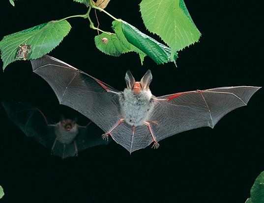 Picture of a bechstein's myotis (Myotis bechsteinii)