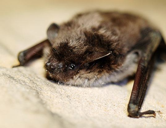 Picture of a pond myotis (Myotis dasycneme)