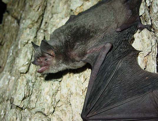 Picture of a gray myotis (Myotis grisescens)