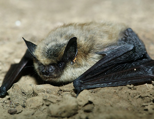 Picture of a eastern small-footed myotis (Myotis leibii)