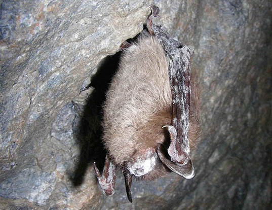 Picture of a little brown myotis (Myotis lucifugus)