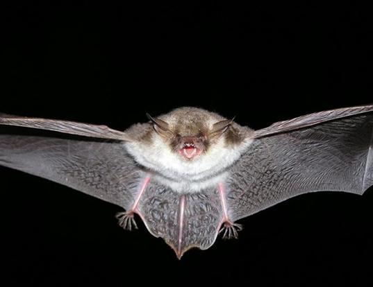 Picture of a natterer's bat (Myotis nattereri)