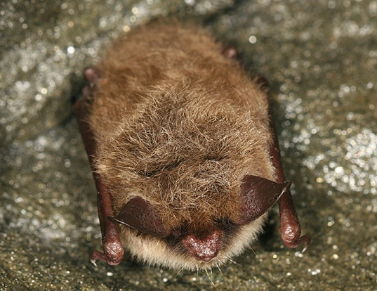 Picture of a northern myotis (Myotis septentrionalis)