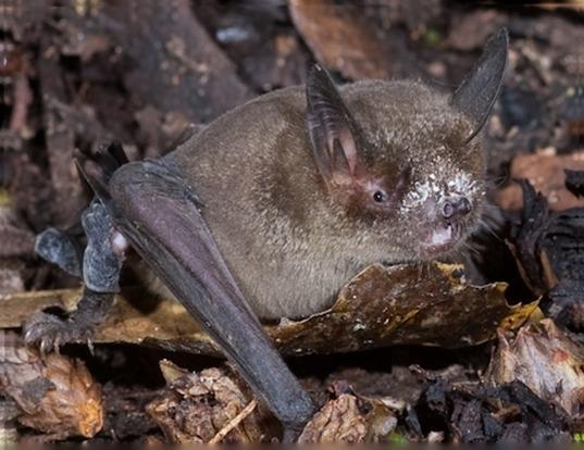 Picture of a new zealand lesser short-tailed bat (Mystacina tuberculata)