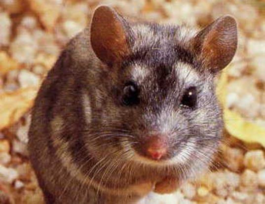 Picture of a white-tailed mouse (Mystromys albicaudatus)