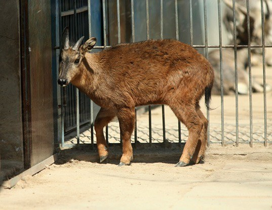 Picture of a red goral (Naemorhedus baileyi)