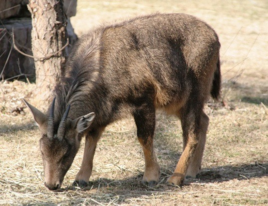 Picture of a long-tailed goral (Naemorhedus caudatus)