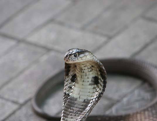 Picture of a monocled cobra (Naja kaouthia)