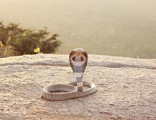 Picture of a indian cobra (Naja naja)